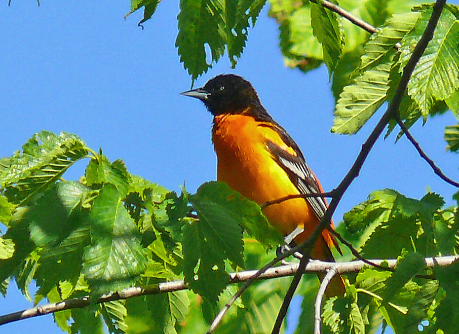 Baltimore Oriole - Larry Meade