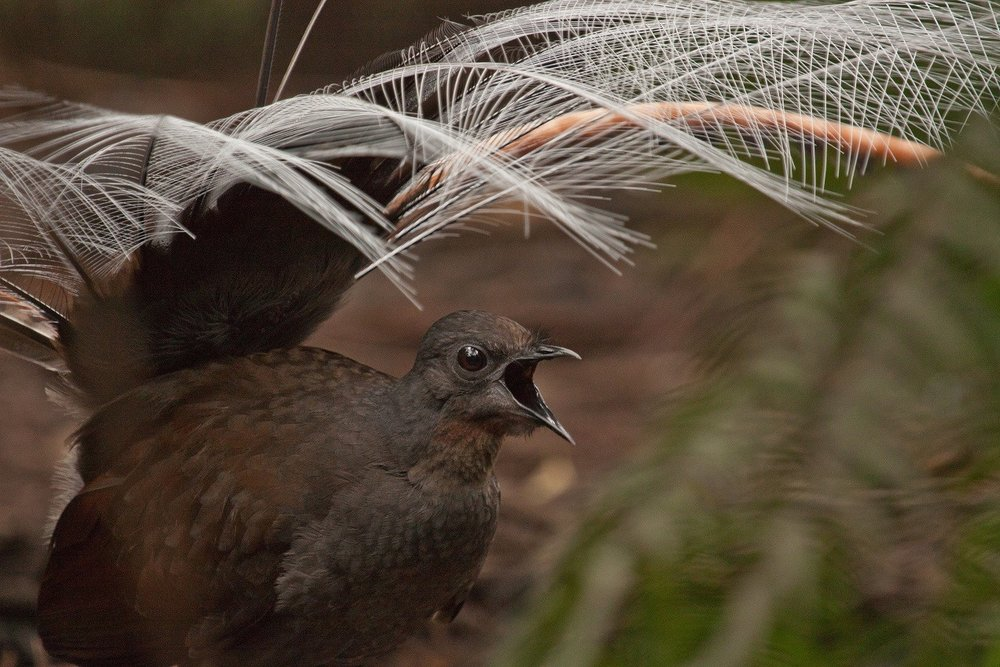 Superb Lyrebird - Eleanor Ager