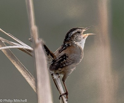 Philip Mitchell - Marsh Wren