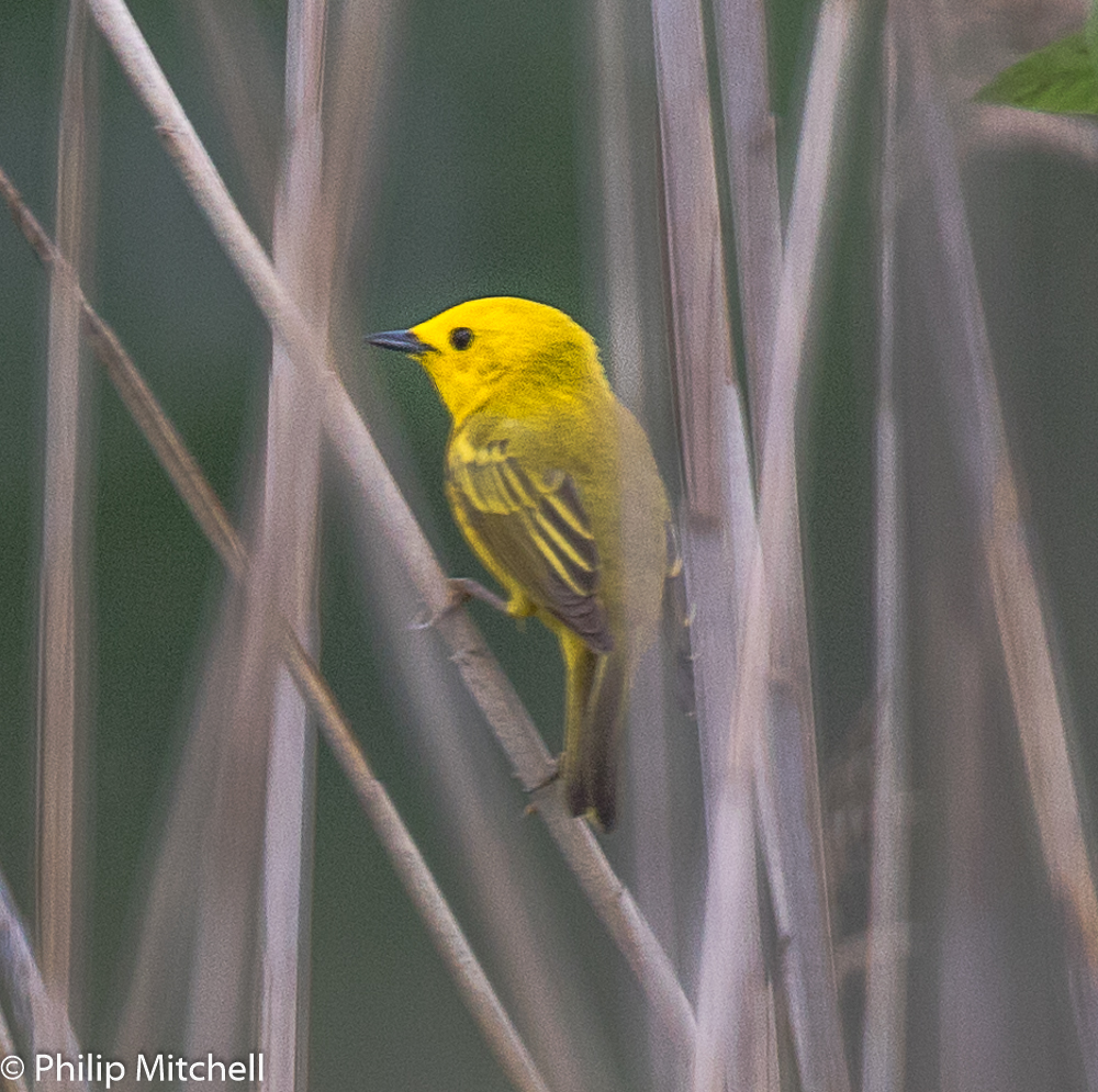 Philip Mitchell - Yellow Warbler