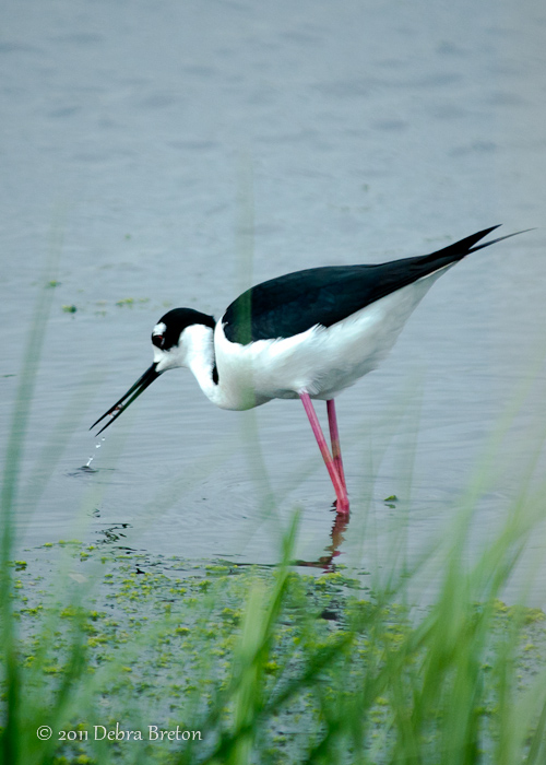 Deb Breton - Black-necked Stilt