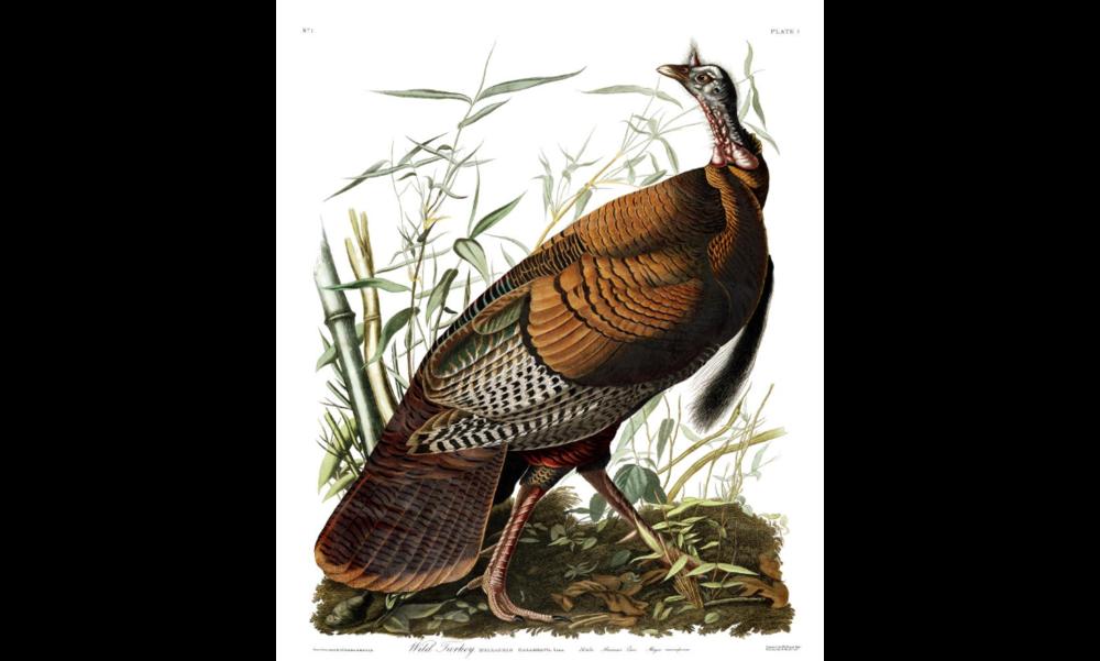 John Audubon - Wild Turkey