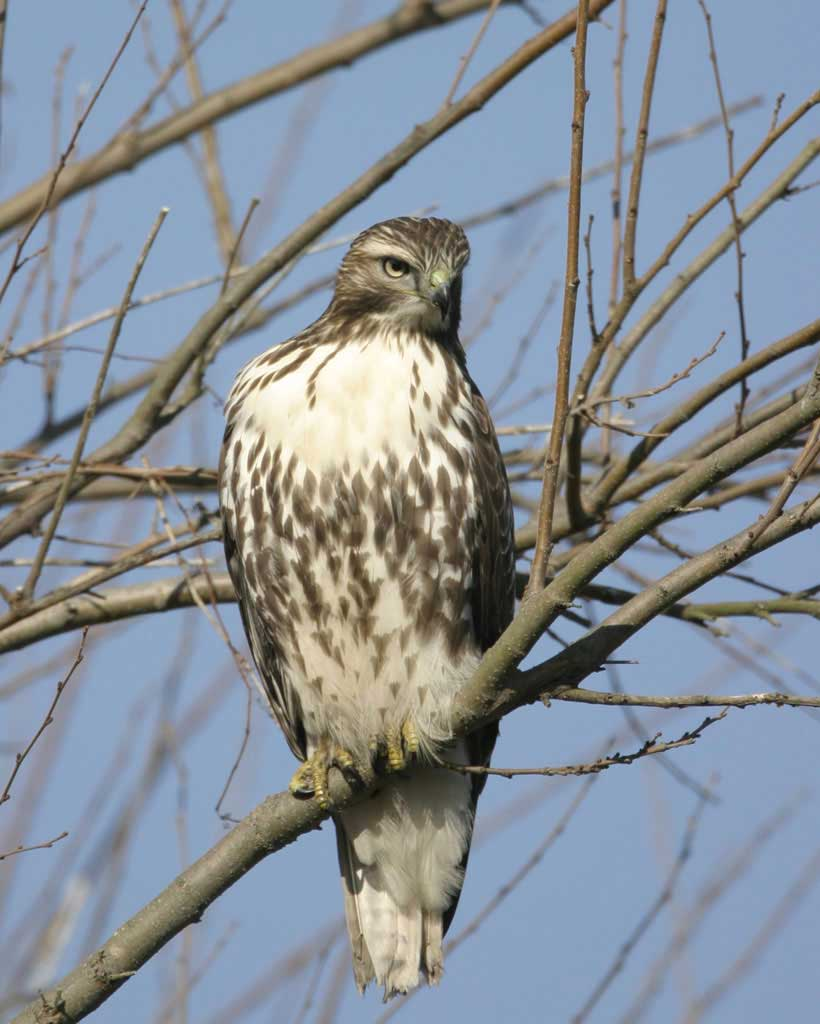 Red-tailed Hawk (Y)