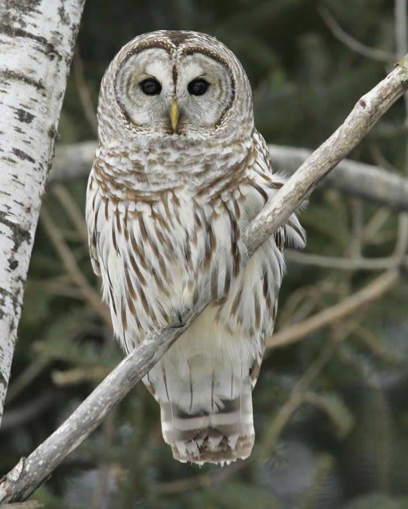 Barred Owl (Y)