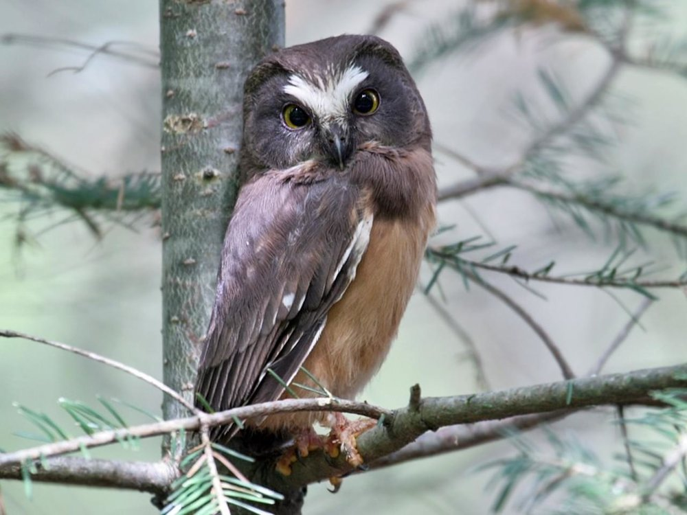 Northern Saw-whet Owl (M)