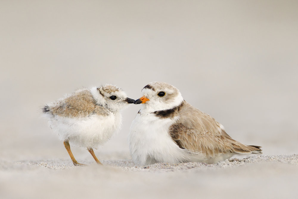 Piping Plover, Melissa Groo/Audubon Photography Awards