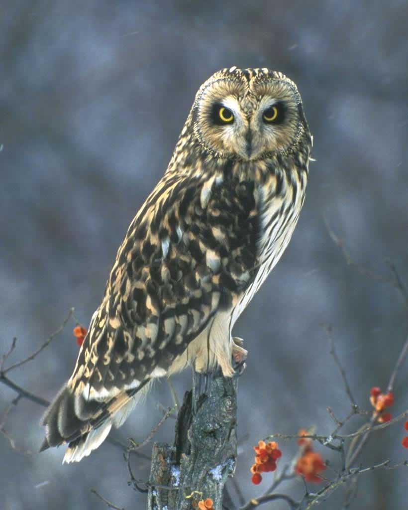 Short-eared Owl (M)