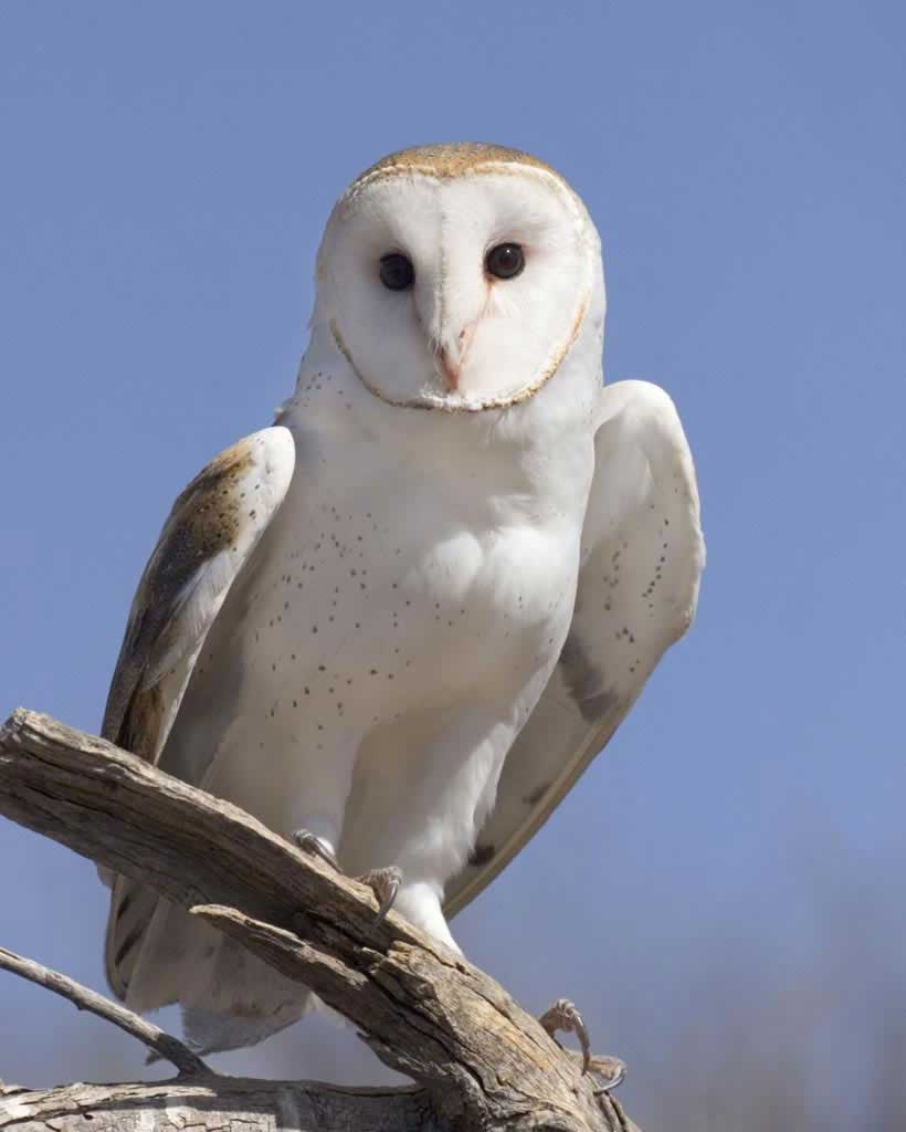 Barn Owl (Y)