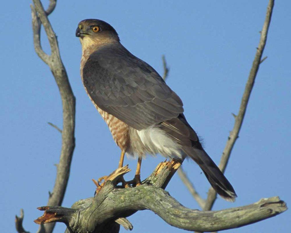 Cooper's Hawk (Y)