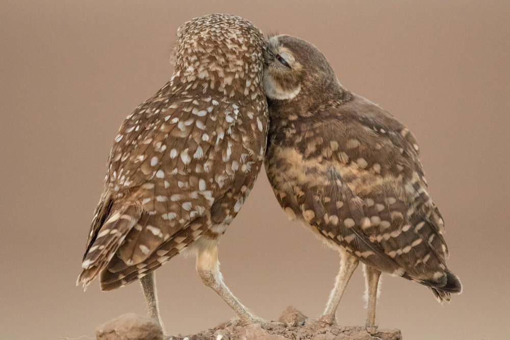 Burrowing Owls, Ann Kramer  Audubon Photography Awards