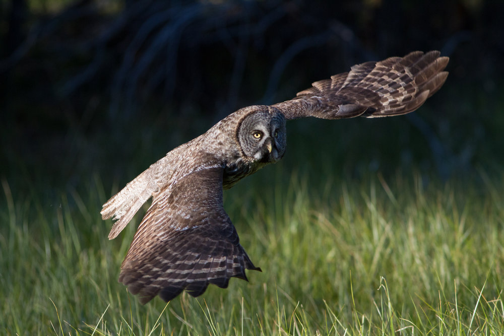 Great Gray Owl, Ken Shults  Audubon Photography Awards