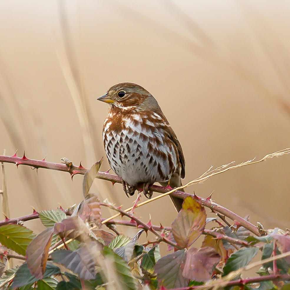 Fox Sparrow, David Boltz/Audubon Photography Awards