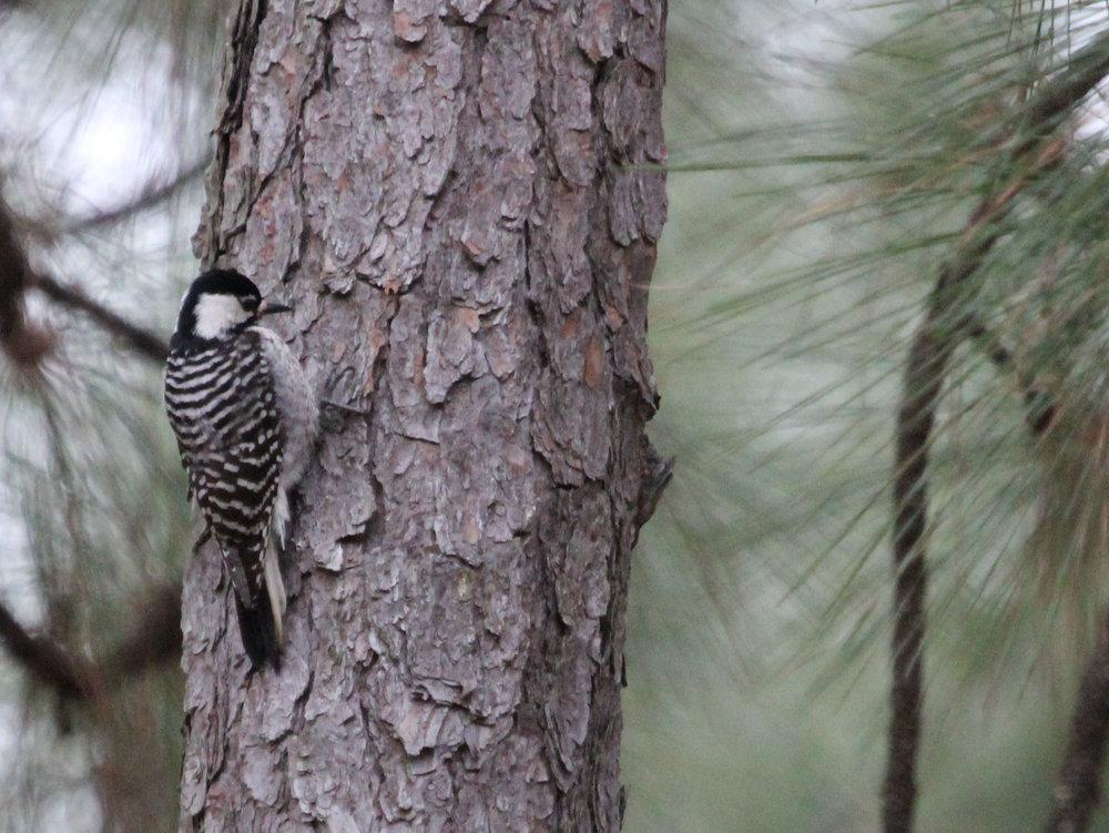 Red-cockaded Woodpecker, Rebecca Vassallo/GBBC