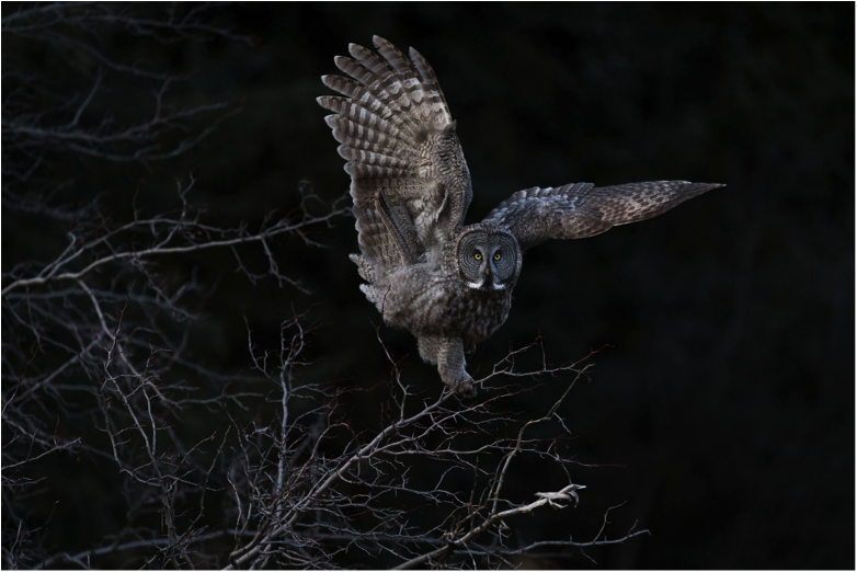 Grand Prize Winner - Great Gray Owl, Steve Mattheis