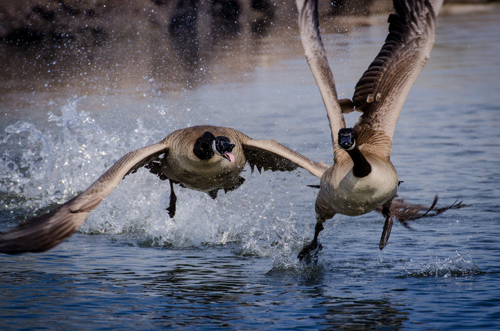 Canada Geese, James Picardi/Audubon Photography Awards