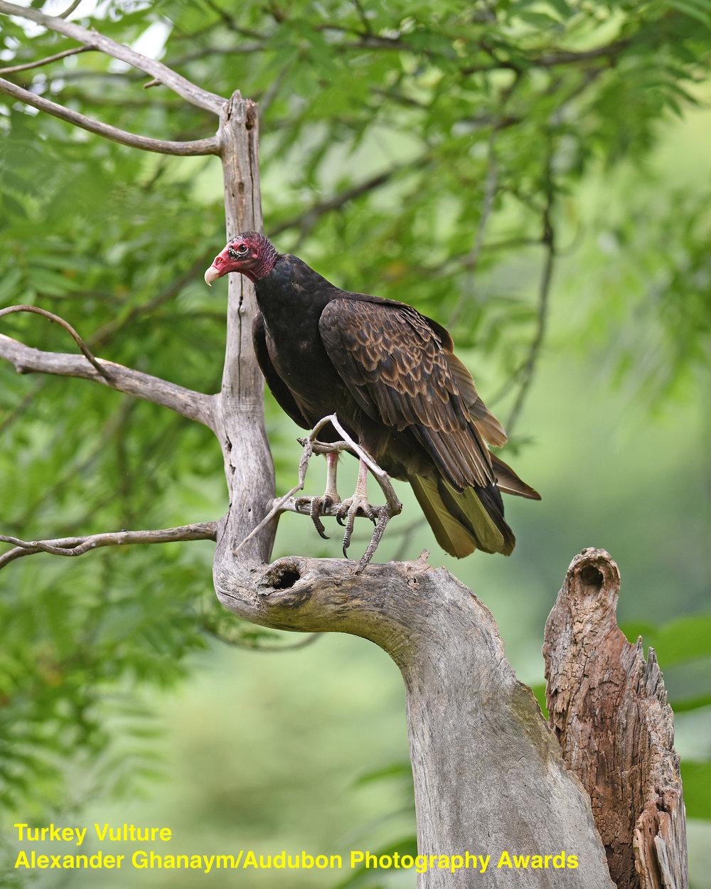 APA_2016_Turkey_Vulture_Alexander_Ghanayem_KK.jpg