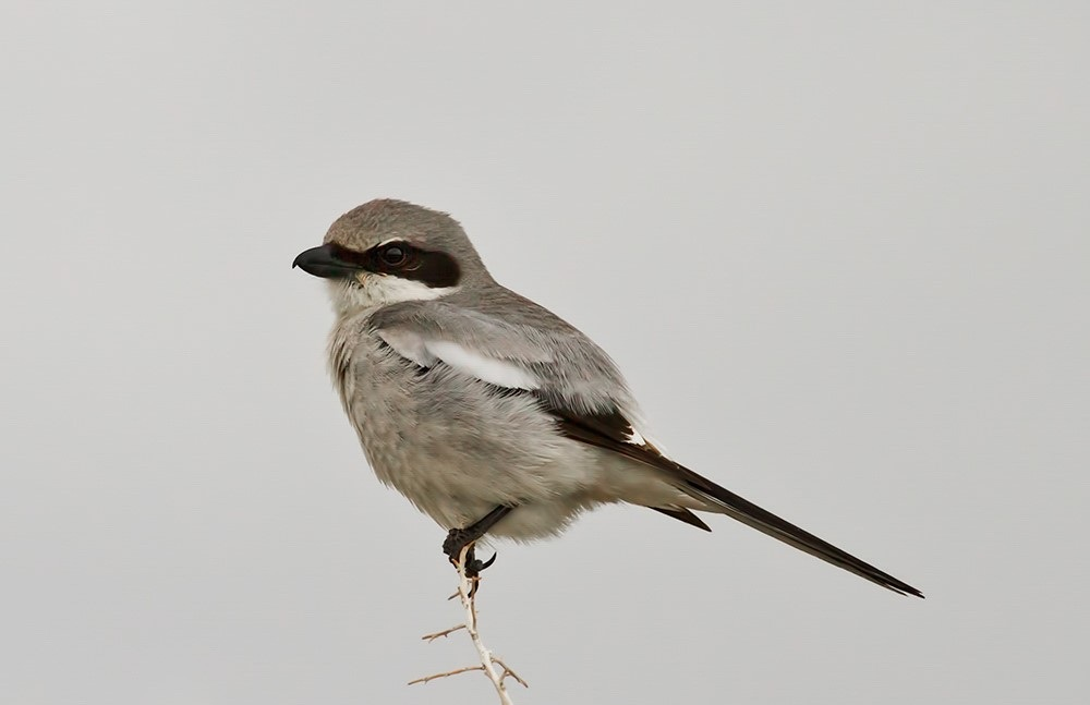 Loggerhead Shrike, George Scott/Audubon Photography Awards