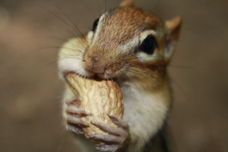 Cute chipmunk shoving a large peanut into its mouth, and having a bulging full cheek on one side.
