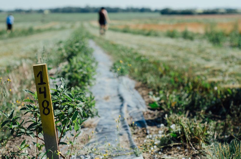 Rosy Farms - Haskap Alberta-5459.jpg