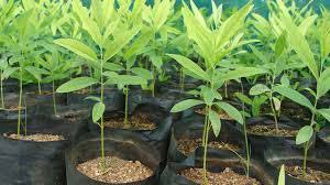 Sandalwood Saplings.jpg