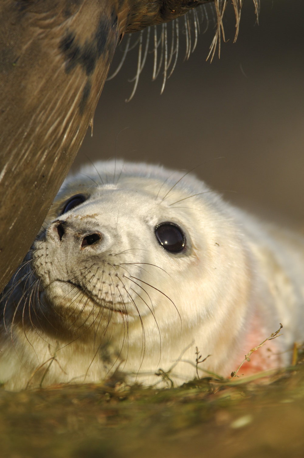 Grey Seal Pup from Brownsman Island, Northumbria 2008