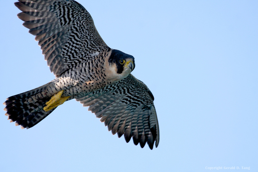 Falcon-Peregrine-Flight-819444.jpg