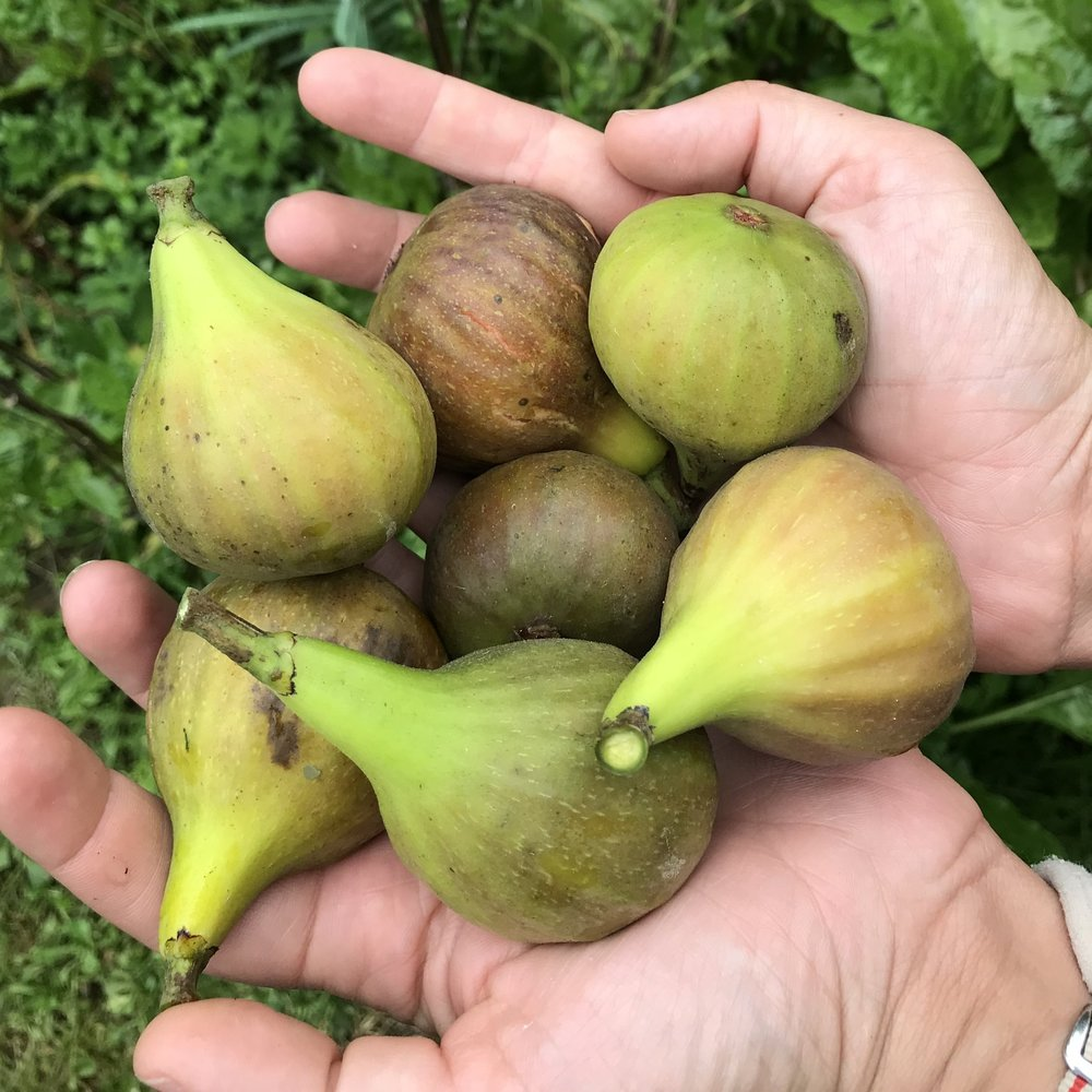 Autumns beautiful bounty Figs