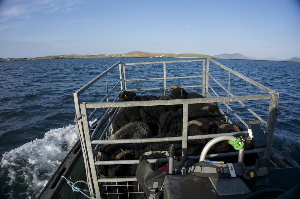 Homeward bound ewes