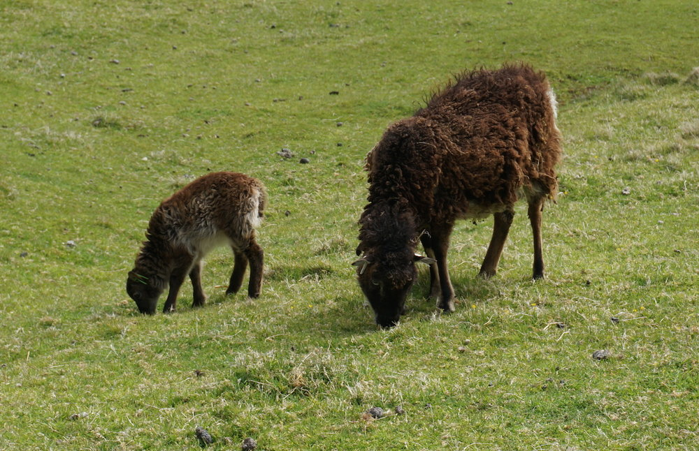 Soay ewe and lamb ... I think she was keeping an eye on me!