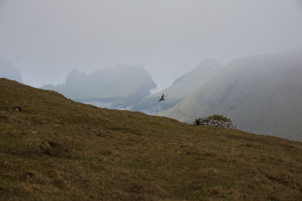 Just below the summit I realised I was not alone as I found myself surrounded by nesting pairs of Arctic Skua. They are like a very large brown seagull and can be extremely aggressive. So I tip-toed along hoping that in my grey sweater I might be overlooked as a small boulder. I nearly made it through until this pair took to the skies and harried me off their patch. Luckily I made it down with my hat.