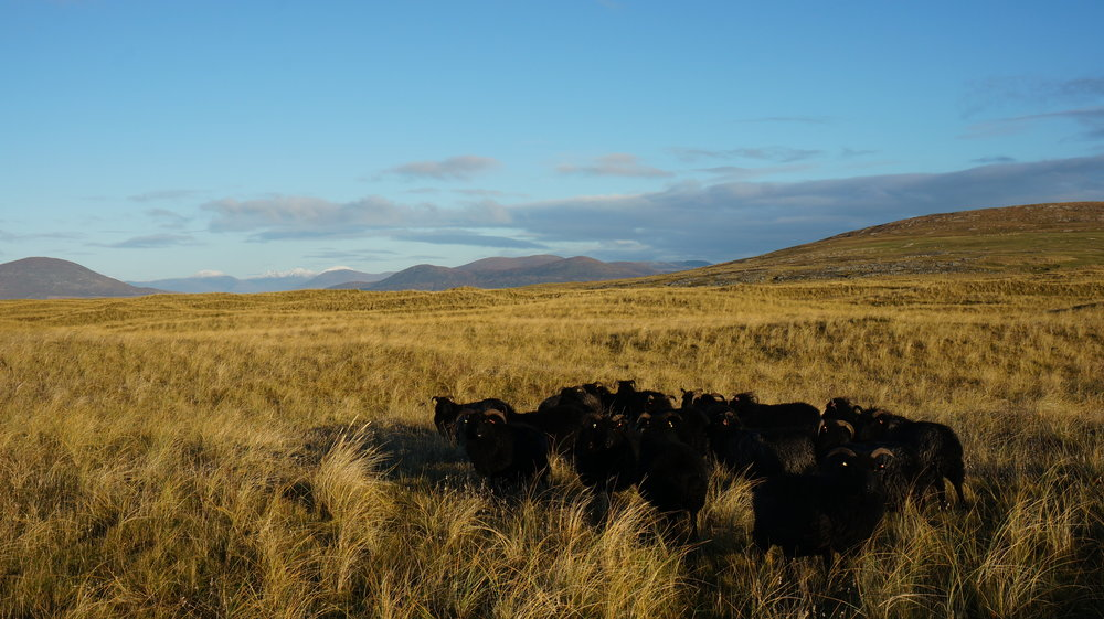 Our Hebridean ewes on Berneray machair with snow on the hills in Harris.