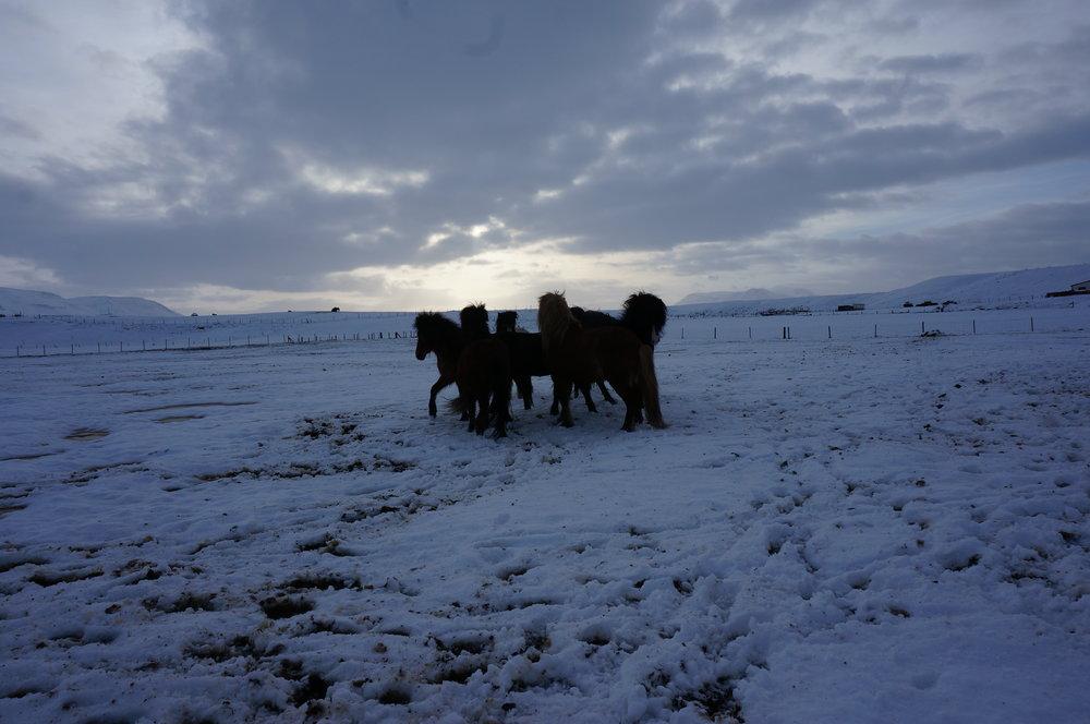 Frolicking Icelandic horses.