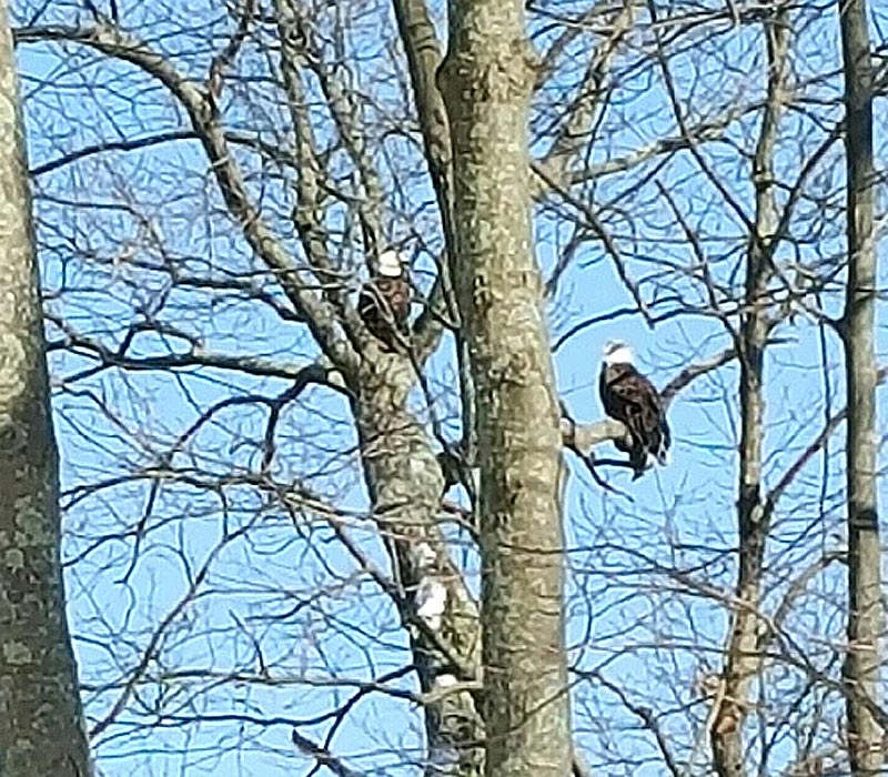 2-Bald-Eagles-at-CAW.jpg