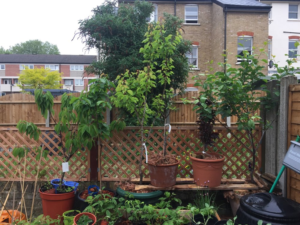 Fruit trees in our small urban garden. Cherry, cherry, nectarine, patio almond, patio peach, plum