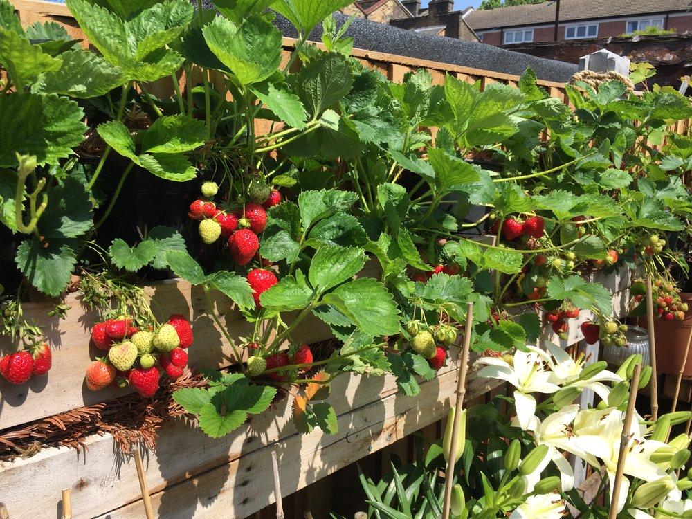 strawberry planter