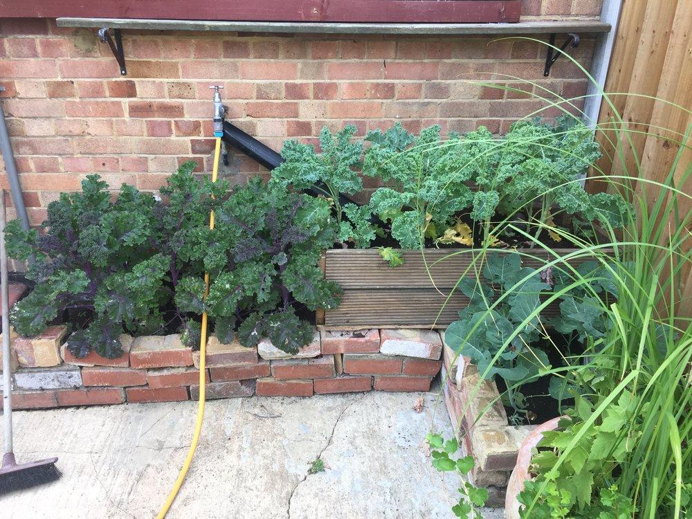 purple curly kale london urban garden
