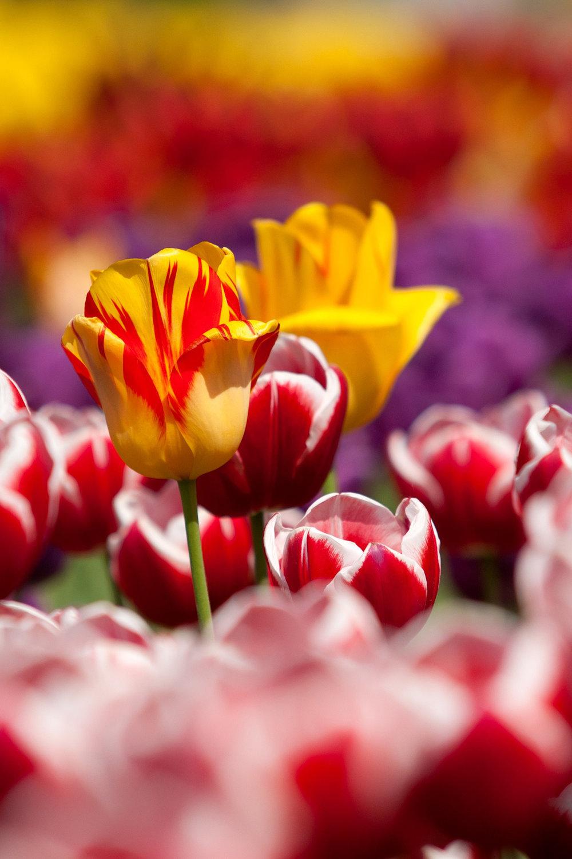 tulips-65305.jpg