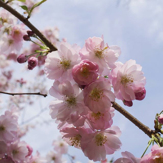 Blossom from a couple of weeks ago - I think it has mostly gone now! #blossom #flowers #ihavethisthingwithpink
