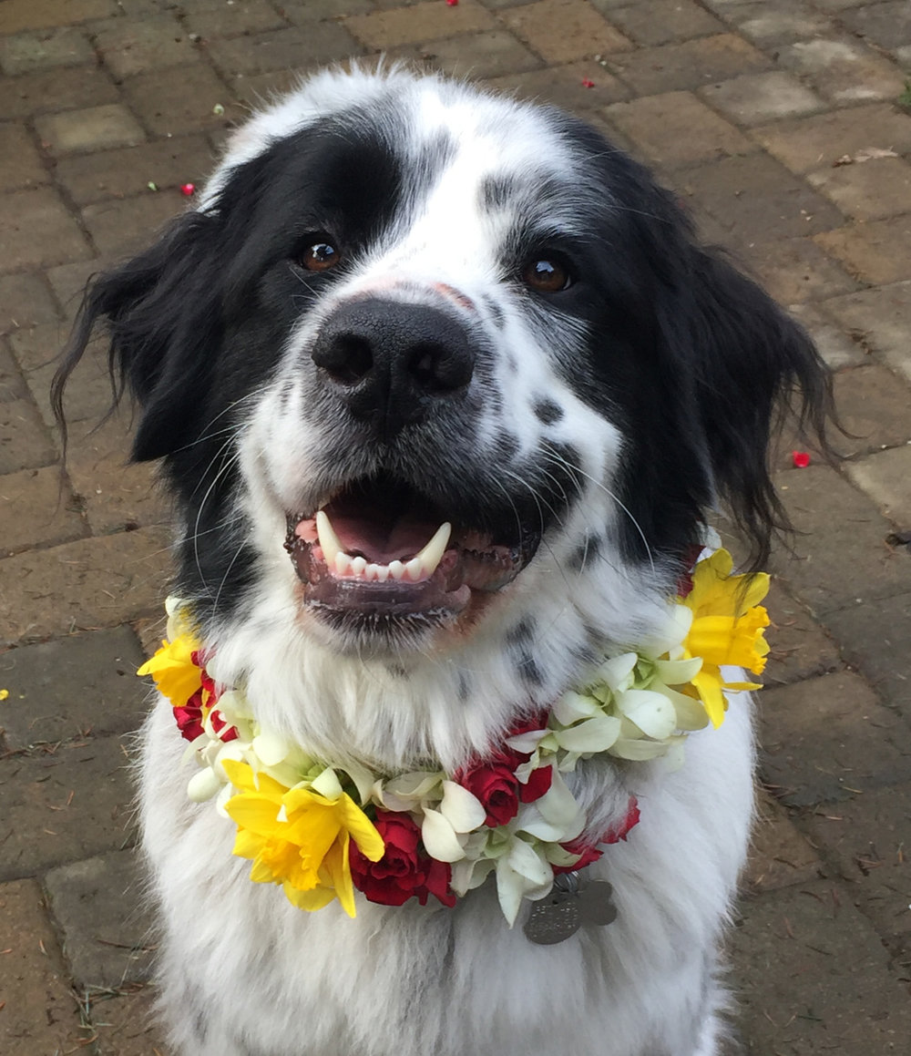 Ranger modeling a lei from a local flower shop so I could know where to paint one on Hachi. I went through several photos and poses. There were many flower petals all over the patio!
