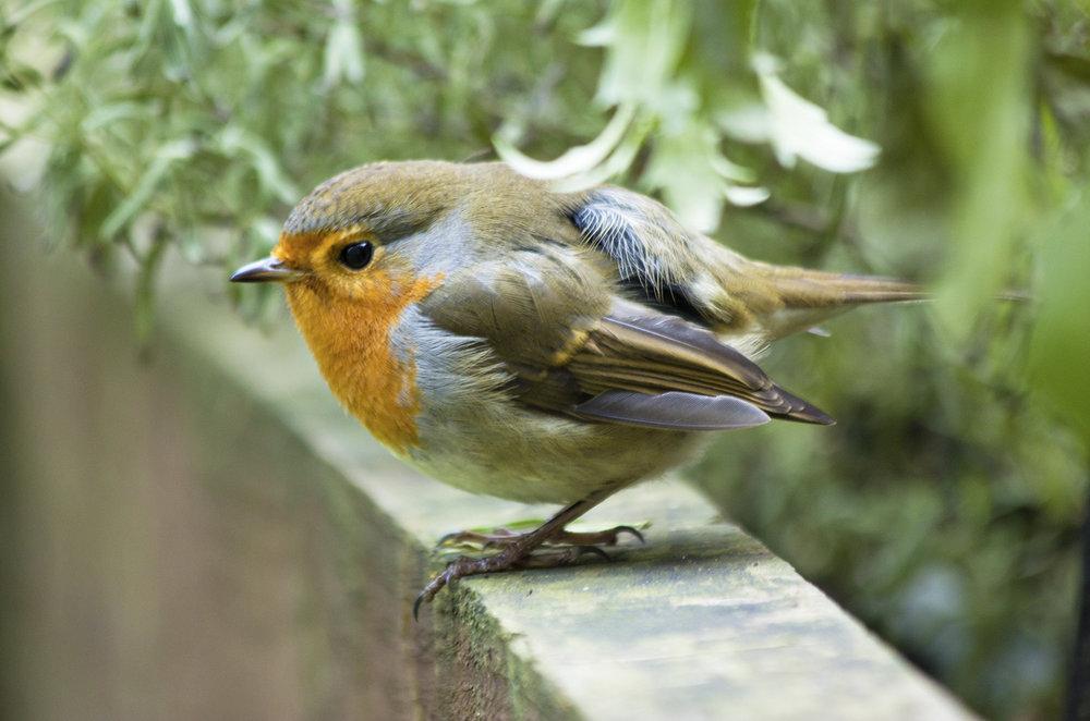 Robin2.jpg