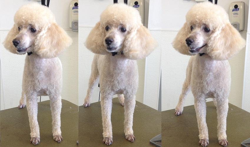 A classic poodle cut on a Miniature Poodle.