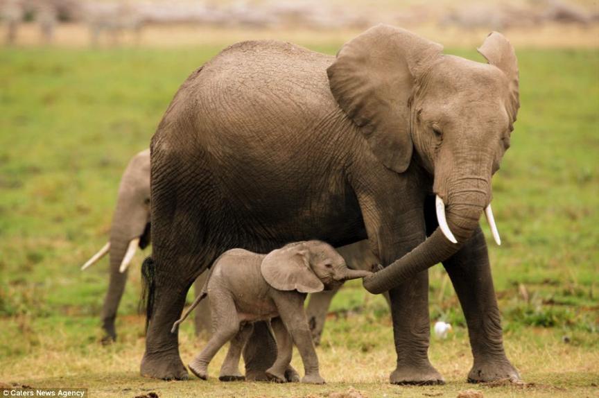 Elefants.png