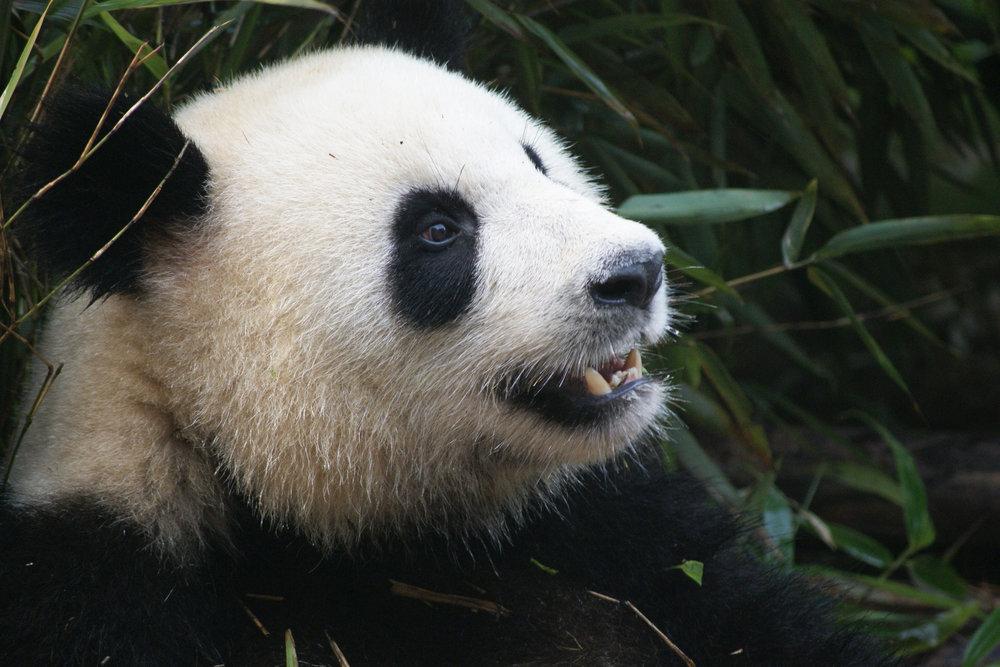 panda-1641560.jpg