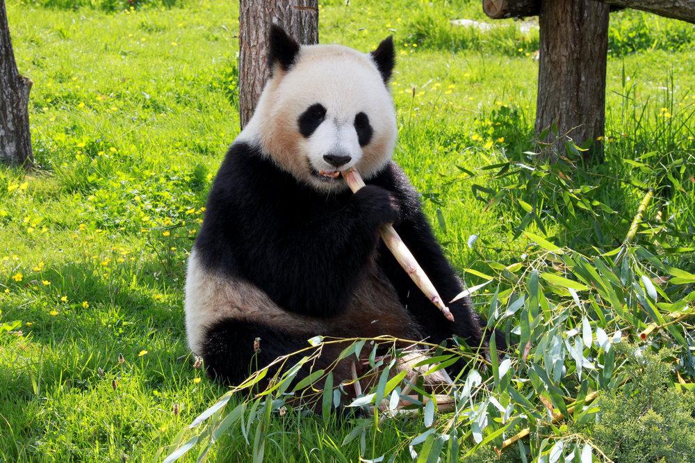 panda-206297.jpg