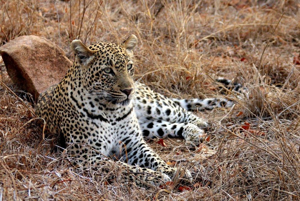 leopard-1364420.jpg
