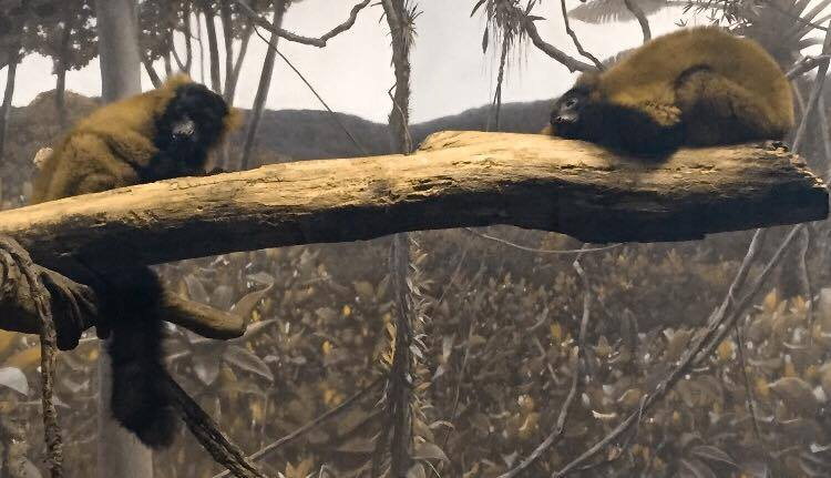 Red Ruffed Lemurs Resting and Being Cute