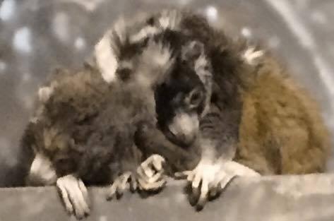 Mongoose Lemurs Snuggling