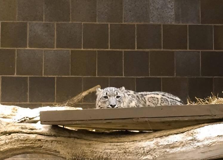 Hi Snow Leopard!