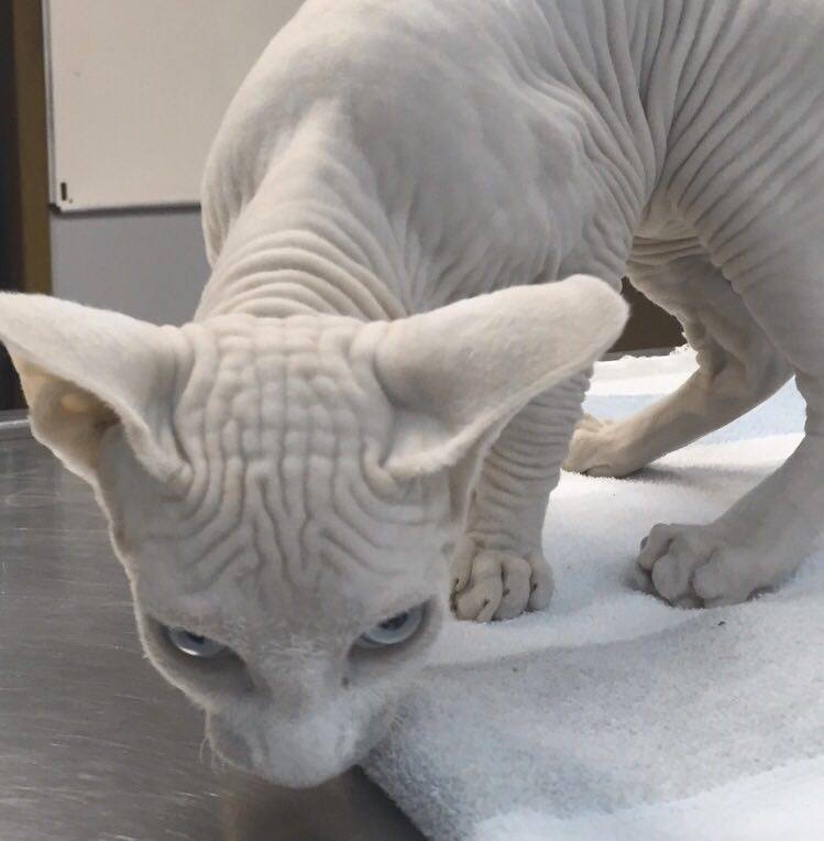It's the proteins people! You know I would have a huge pride of Sphynx cats if I could!