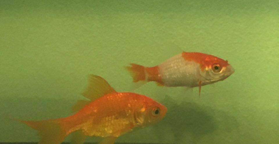 Ruby (bottom left) is the prize fish, and Sapphire (top right) is her new friend.